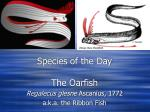 Species of the Day The Oarfish