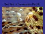 Sea lice in the eastern Pacific