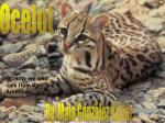 Ocelots are wild cats from the Americas .