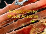 Introduction to Muscle Anatomy