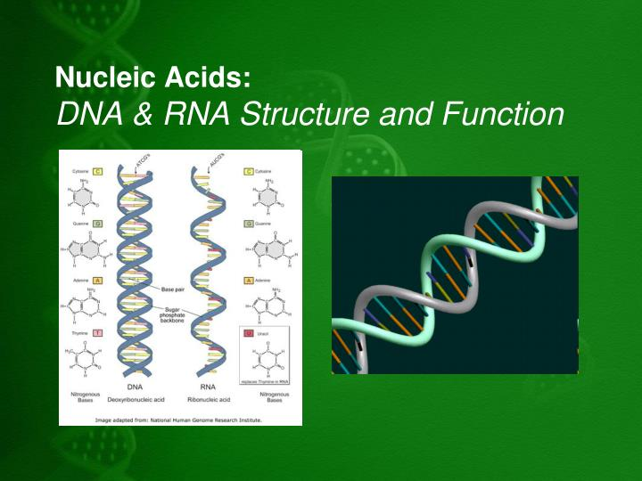 nucleic acids dna rna structure and function n.