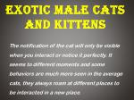 Exotic Male Cats and Kittens